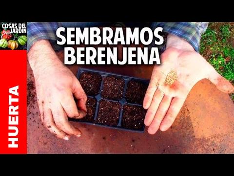 Como cultivar berenjena en el huerto y en macetas - 1