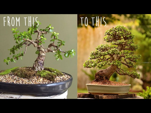 18 year progression on a portulacaria afra bonsai tree. - By Little Jade Bonsai