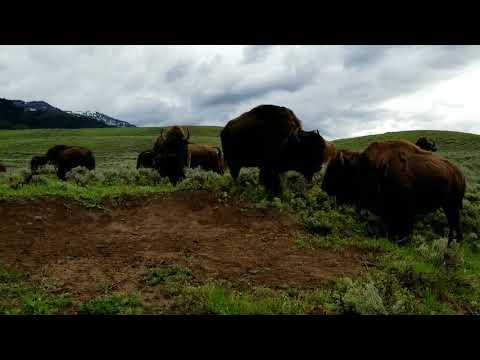 Yellowstone Bison 2018