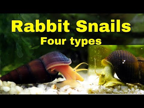 Rabbit Snails - My FOUR different types - coolest snails in the world