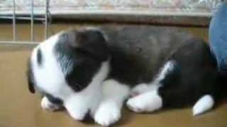 Puppy 20080331 Cardigan Welsh Corgi 1