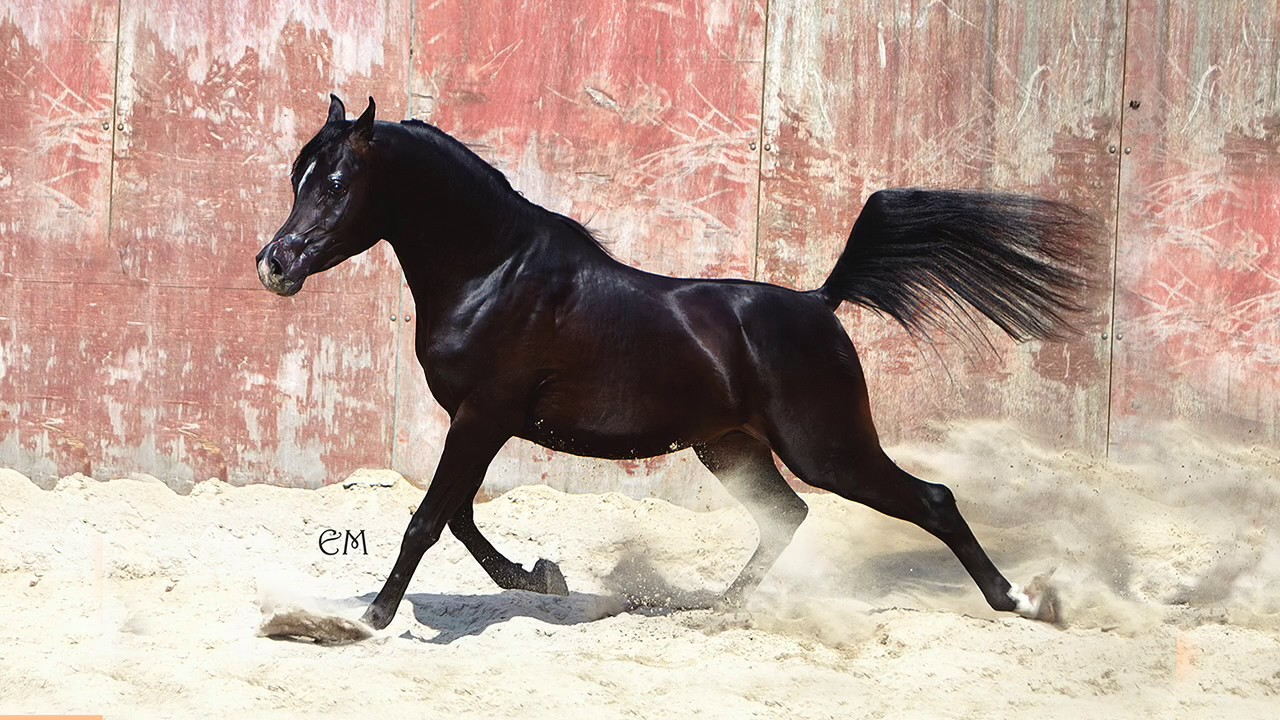 ARABIAN BLACK STALLION MW ASCHER HD - YouTube - photo#1
