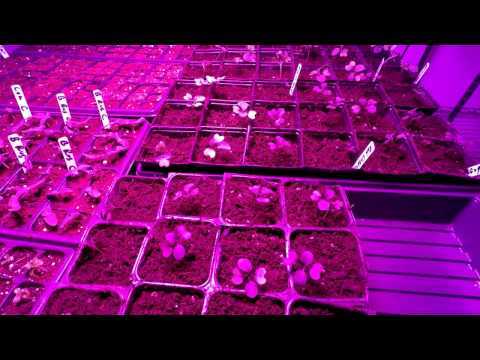 Pest Free Organic Gardening 4 - Transplanting seedlings to pint containers