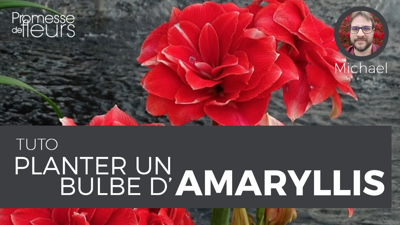 Planter Un Bulbe D 39 Amaryllis Vid O Jardinage Youtube