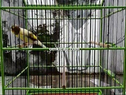 Download Lagu Suara Ngotot Kenari Kapal Oleng - Blog Om Kicau