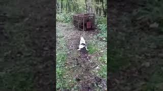 四国プリンス犬舎は、絶滅寸前の純血サツマビーグルの保存普及活動に取...