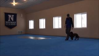 Callie (mini-labradoodle) Dog Training Camp Video