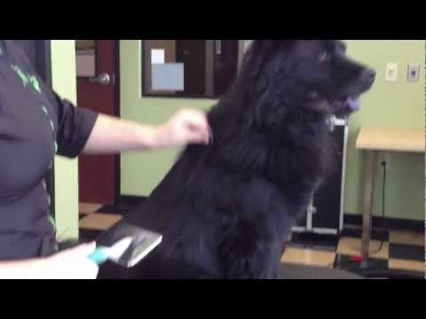 How to Brush your dog and remove mats - Designer Paws Salon