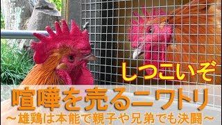 """2018年11月中旬のこと。 庭でボス役を務める雄鶏""""夏""""が雌鶏さん達と朝食..."""
