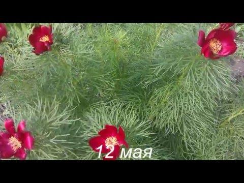 Самый красивый многолетний цветок, занесённый в Красную книгу!