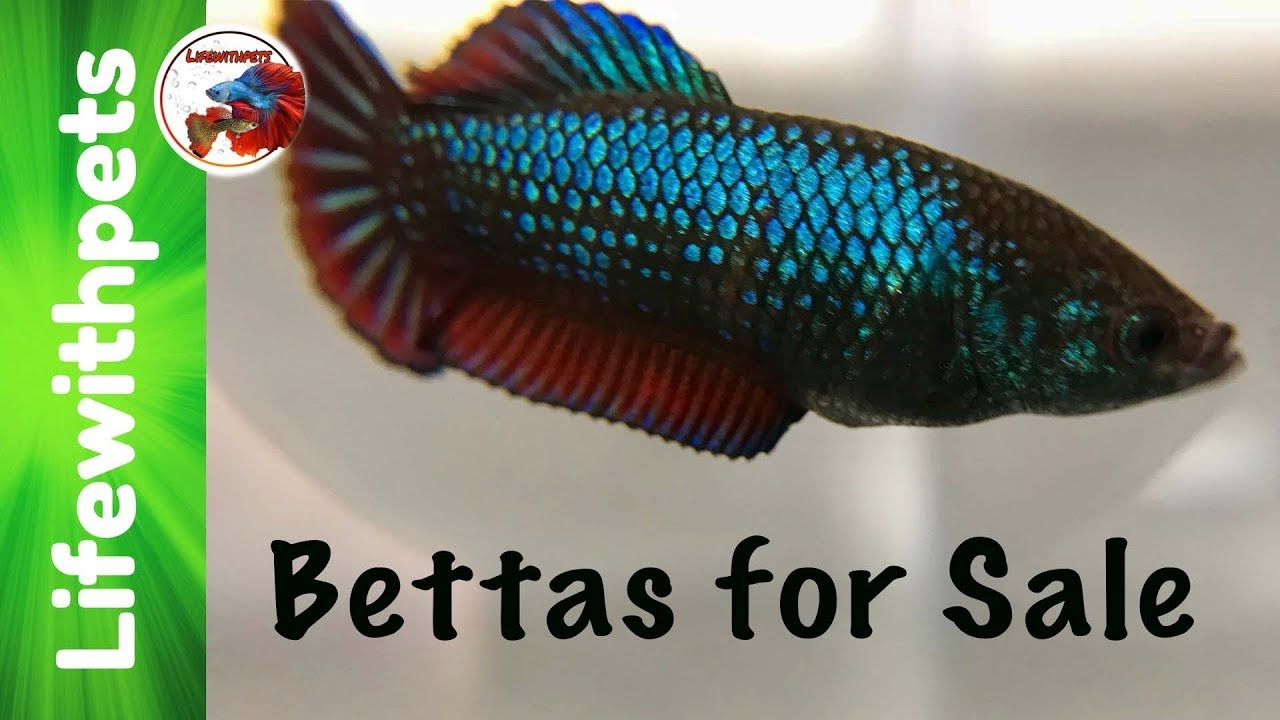 Betta fish for sale youtube for Betta fish for sale online