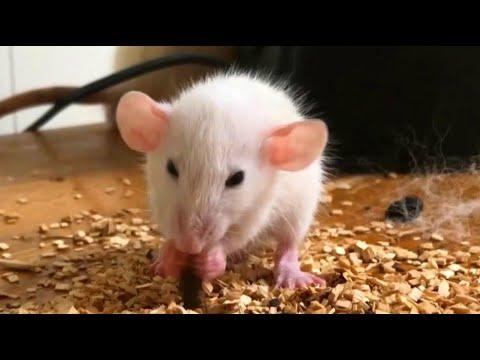 Super cute Dumbo rats compilations