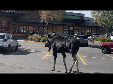 Aaron - Meanwhile In Wyoming, MOOSE!