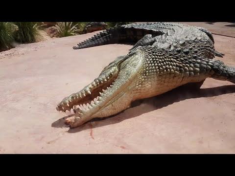 Crocodile feeding in Crocopark Agadir Morocco