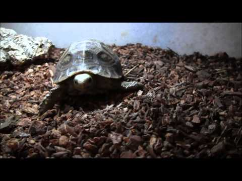 Small Elongated Tortoise