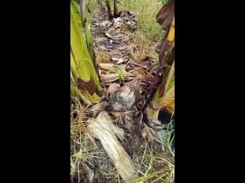 Fusarium Wilt (PANAMA DISEASES) cured by BIALEXIN