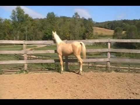 """Hot Rod"" - Yearling Palomino Saddlebred Colt For ..."
