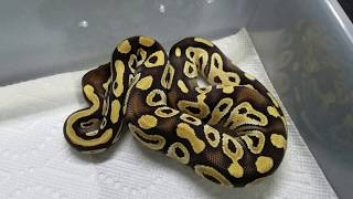 Remaining for sale animals 2016, ball pythons