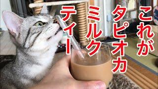 猫の好奇心を満たしながらタピオカミルクティーを作る!〜猫とタピオカ〜