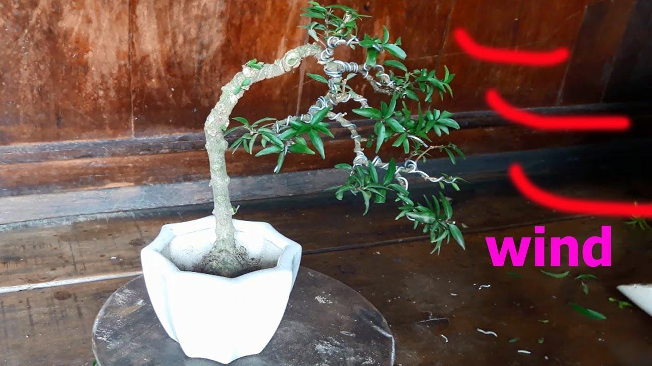 Bonsai Việt Bonsai Mini Mai Chiếu Thủy Văn Nhan