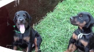 Щенки добермана питомника ФОРТУНАТО ДЕ ЛЮМАР / Doberman puppies FORTUNATO DE LUMAR kennel