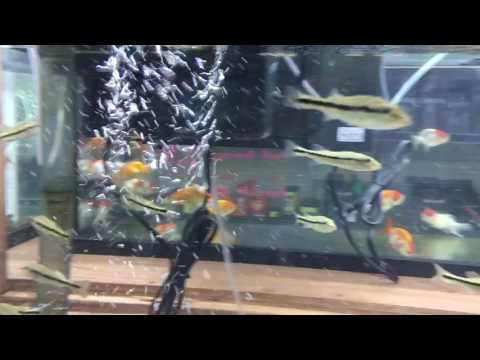 Temensis Peacock Bass Fry For Sale!