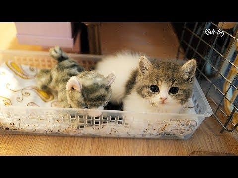 [vlog] raising munchkin kitten 'Soseol'' (ep 3)