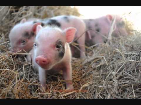 Cute Baby Pigs Wallpaper The Smallest Pet Pigs In The World Amazingly Adorable And