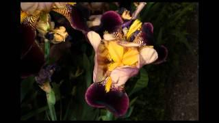 Iris the Flowering Rainbow Goddess