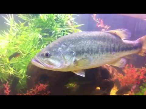 Huge largemouth bass in a 300 gallon aquarium youtube for Bluegill fish tank