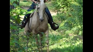 Glimmer Beginner SAFE Golden Champagne Tennessee Walking Trail Horse Deluxe For Sale