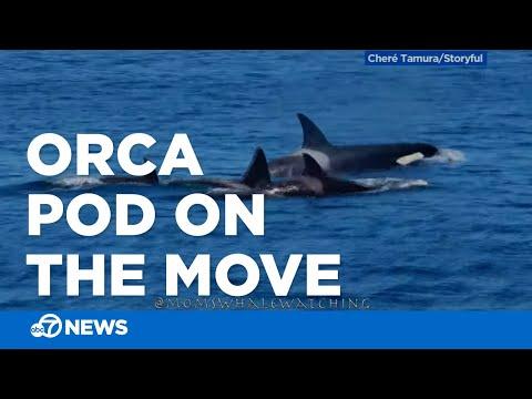 Pod Of Orcas Swim Off California Coast