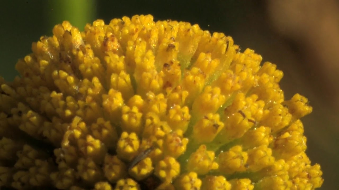 Tube Flowers Of The Tansy Youtube