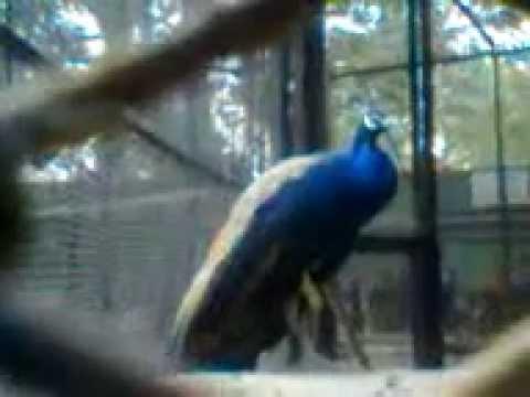 Peafowl are forest birds,Alipore Zoo,Kolkata,India