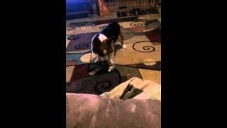 Daisy The Welsh Corgi Playing