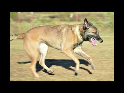 delma-a-3-year-old-belgian-malinois