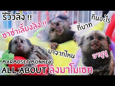 รีวิวลิงมาโมเซท !! สัตว์เลี้ยงแปลกใหม่ของช่า !! น่ารัก ~