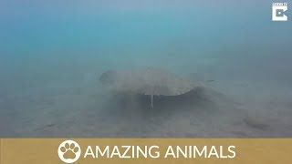 Manta Ray Buries Itself In Sand