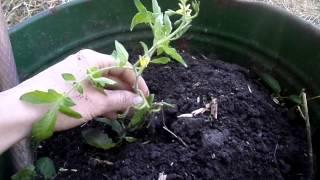 ПОСАДКА  ТОМАТНОГО ДЕРЕВА! или Помидор в бочке!(В видео показывается как мы сажаем томатное дерево или как его еще называют