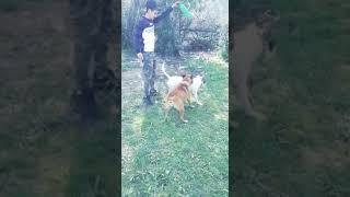 pitbull dog oscar