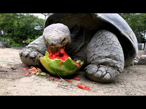 Galapagos Tortoise Can't Get Enough Watermelon