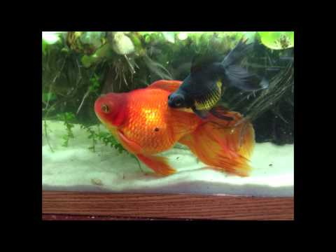 Why Fancy Goldfish Require Large Tanks
