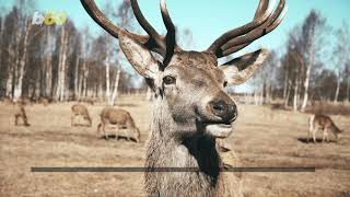Drivers Need to Watch For Deer During Mating Season or Risk Spending