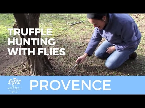Truffle Hunting In Provence
