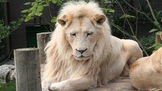 7 Races De Lions Qui Sont Uniques Au Monde