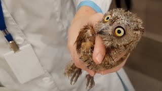 Another injured owl scops owl examined by the veterinarian. Little lump of evil