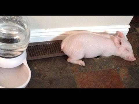 They Thought They Were Just Adopting A Mini Pig. Instead, It Turned Into This.