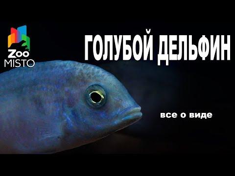 Голубой Дельфин - Все о виде рыбок   Рыбка вида - Голубой Дельфин