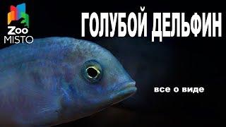 Голубой Дельфин - Все о виде рыбок | Рыбка вида - Голубой Дельфин