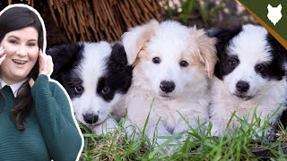 How To Find The PERFECT BREEDER For A BORDER COLLIE